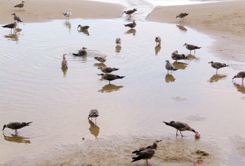 Una plaga de gaviotas